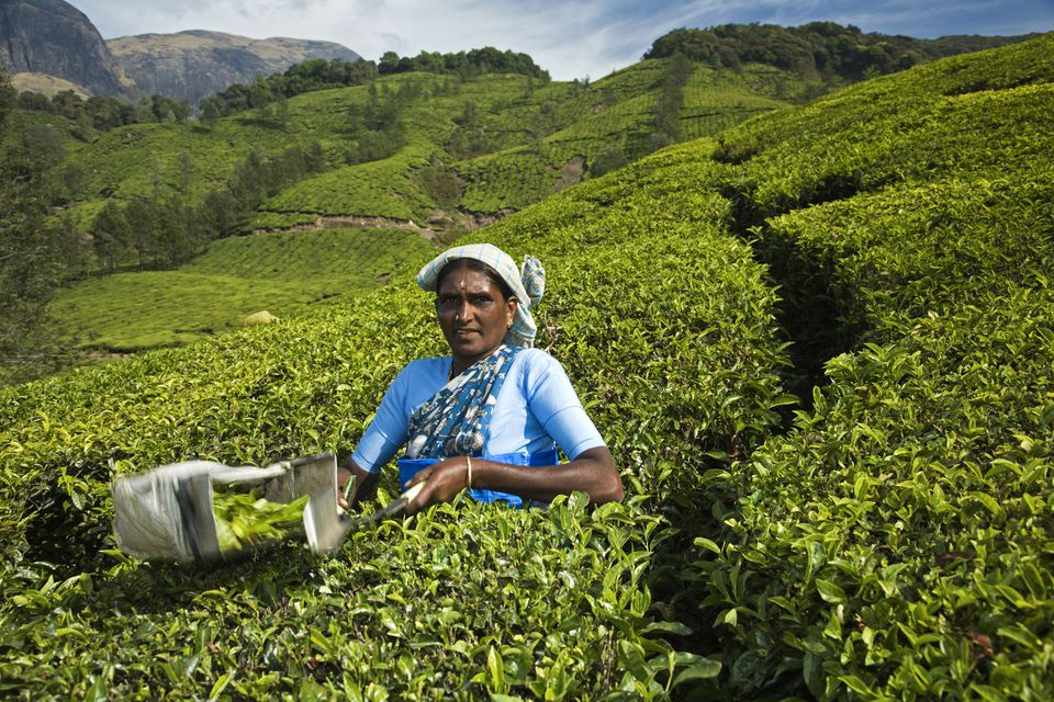 Tamil teapicker working in a tea plantation. India, Munnar.