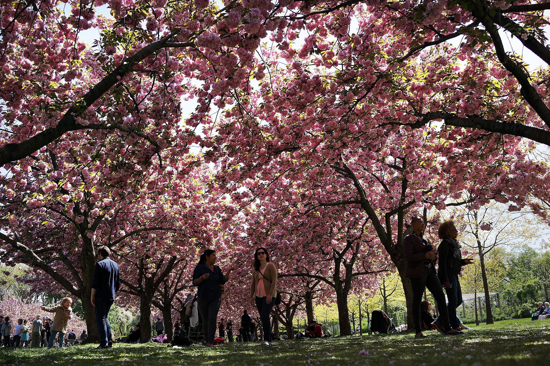 Guide to the brooklyn botanic garden cherry blossom festival - Restaurants near brooklyn botanical garden ...
