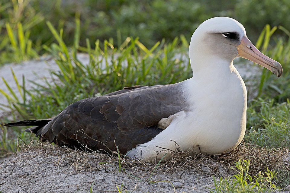 wisdom-albatross.jpg
