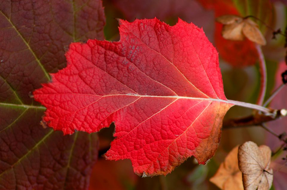 Oakleaf hydrangea (image) is one of the better shrubs for fall foliage. Fall color is red.