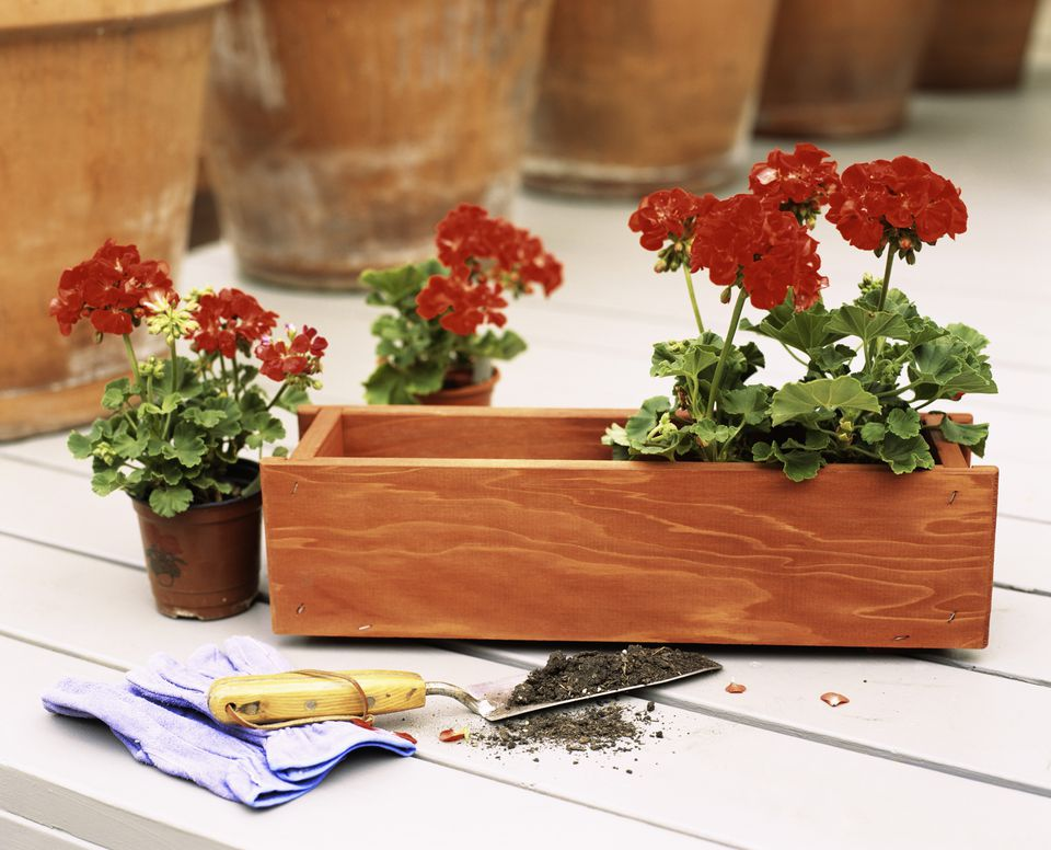 Red geraniums being planted in a window box.