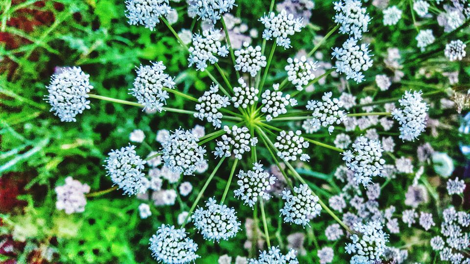 Directly Above Shot Of Queen Annes Lace Blooming Outdoors