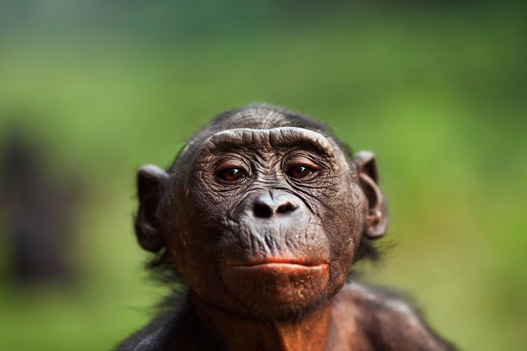 Bonobos are one of two species that belong to the genus Pan, the other species is the common chimpanzee.Photo © Anup Shah / Getty Images.