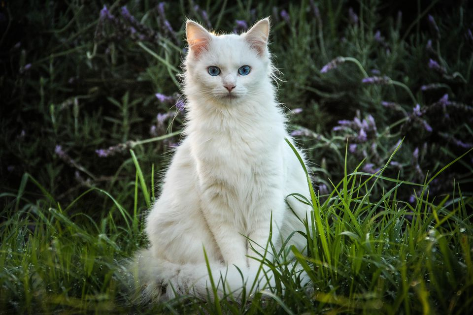 White Cats Features and Health Issues  White Cat With Dark Blue Eyes