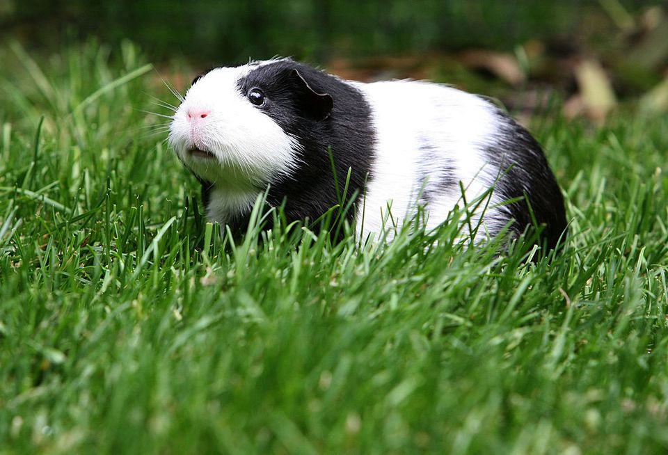 Guinea pig heat stroke how to prevent and treat - What temperature is too cold to paint outside ...