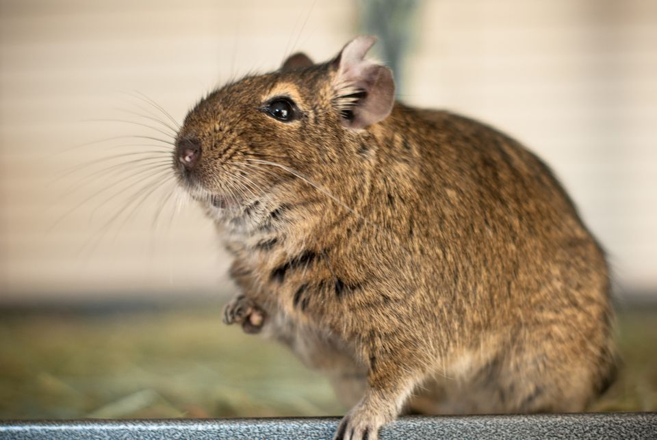 Keep Your Pet Degu Clean