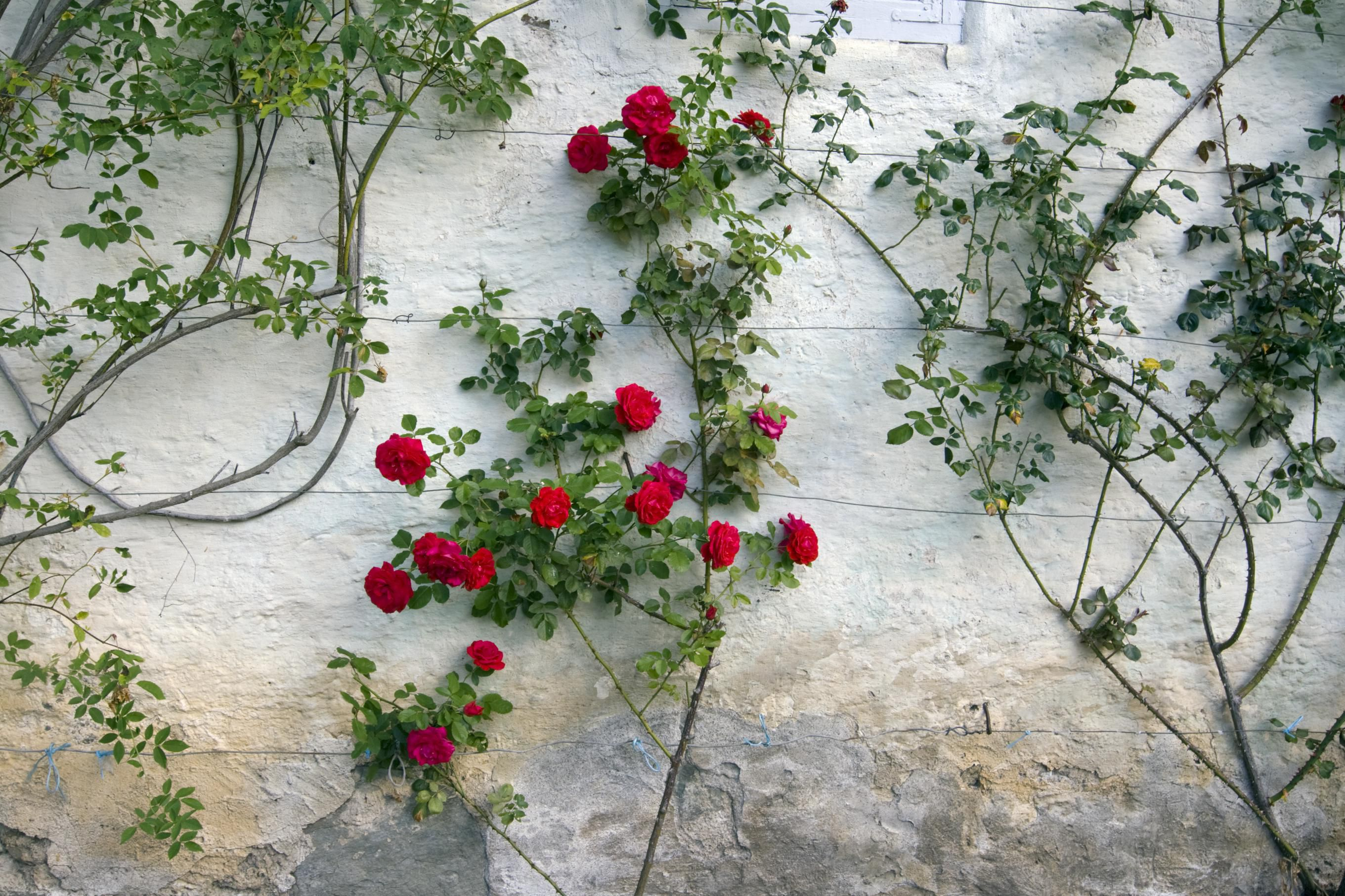 How To Grow A Climbing Rose On A Trellis