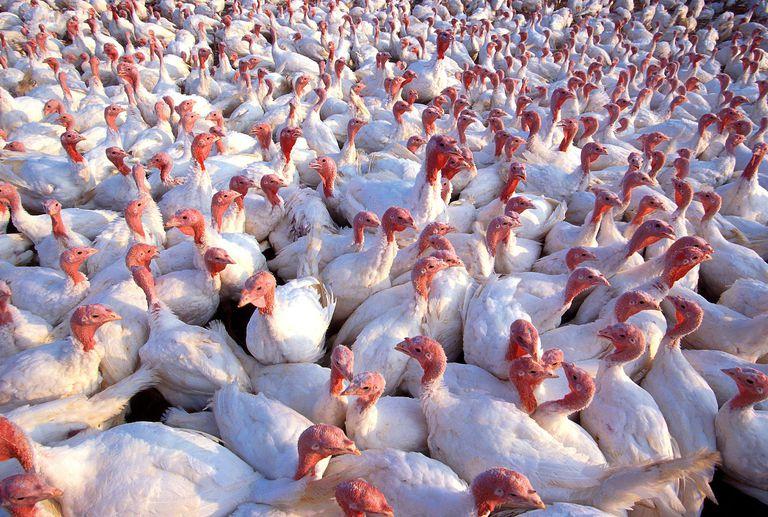 Crowd of white turkeys on a farm.