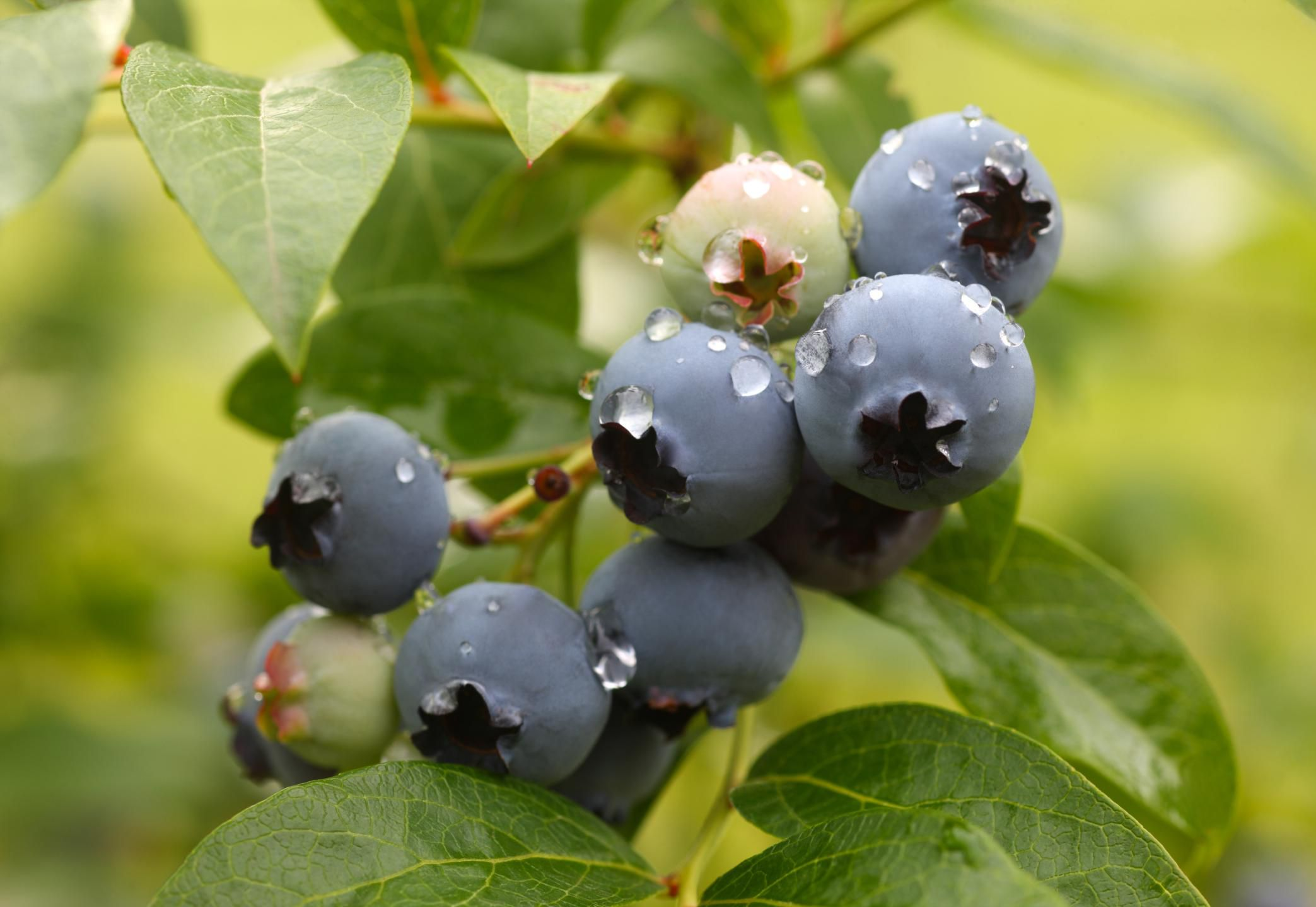 How To Grow Organic Blueberries