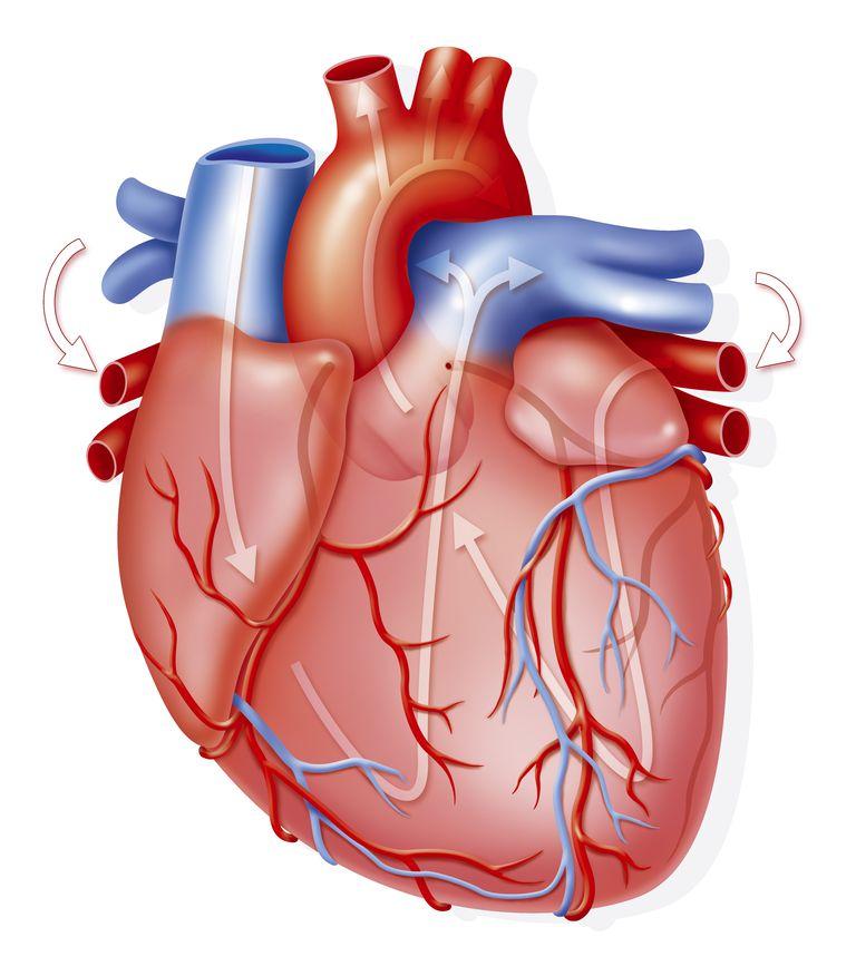 El corazón y sus partes