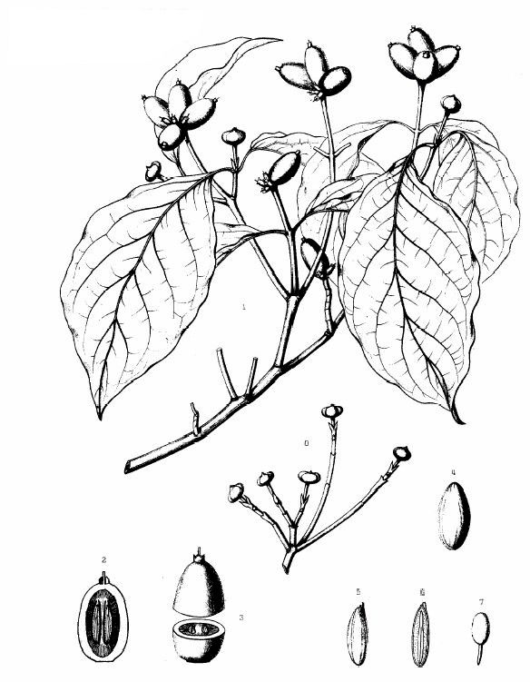 Common trees of the eastern united states flowering dogwood cornus florida sciox Gallery