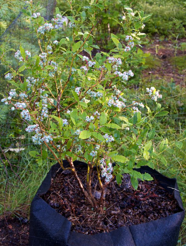 container gardening picture of blueberries in a Smart Pot