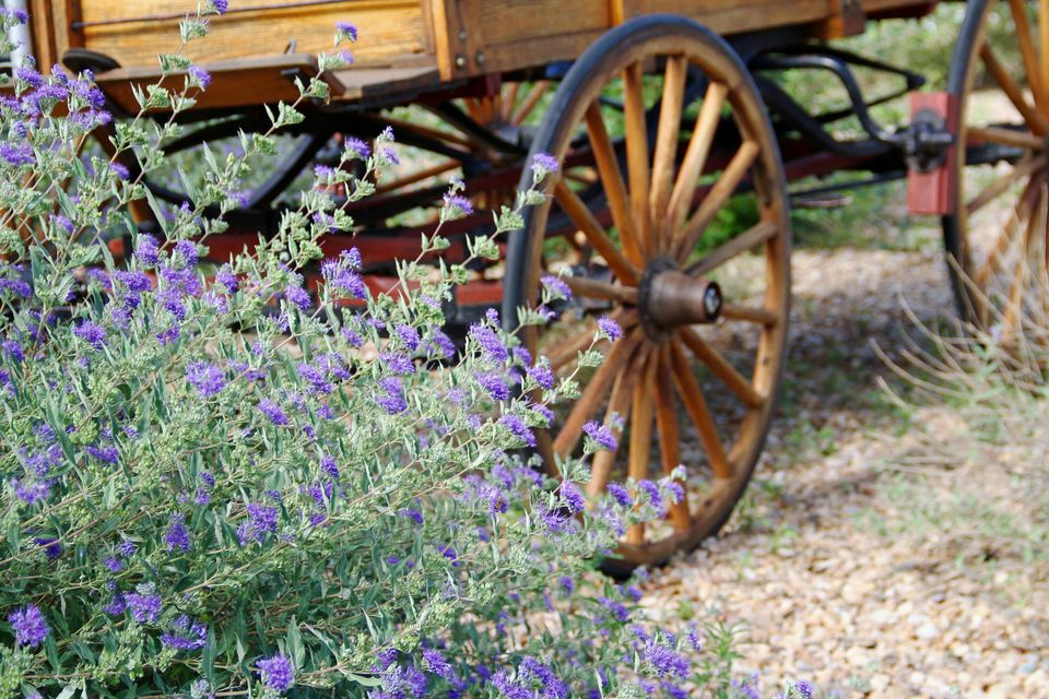Purple sage and a wooden wagon