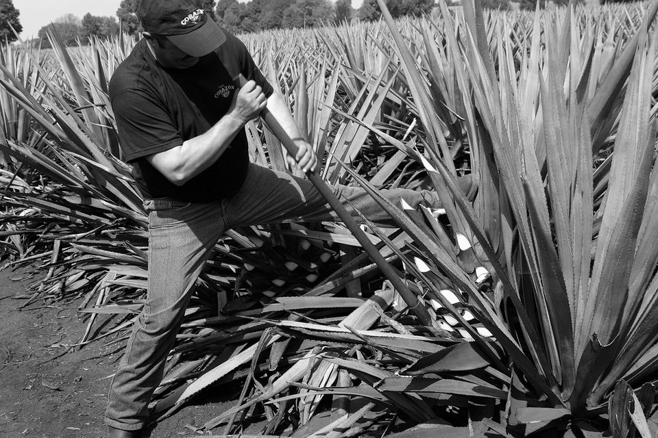 Agave plants harvested for tequila at the Corazon Tequila distillery in Los Altos, Jalisco, Mexico