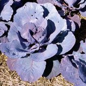 How to Grow Cabbages.