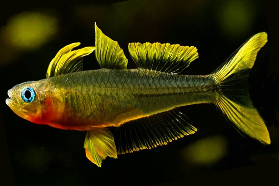 Forktailed rainbow fish pseudomugil furcatus fun easy for Rainbow fish pictures