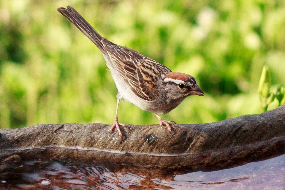 Chipping Sparrow at a Bird Bath