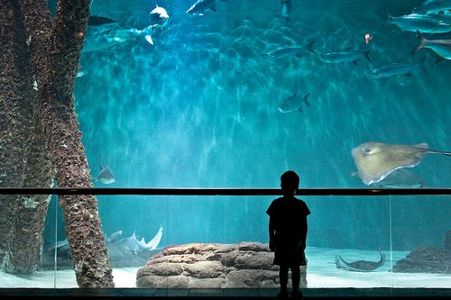 A Child Watches the Sharks at the Audubon Aquarium of the Americas