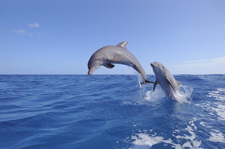 Bottlenose dolphin jumping Bottlenose dolphin