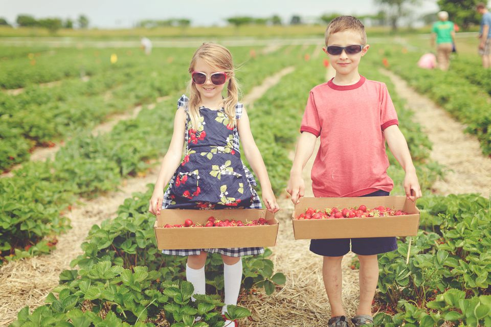 Brother and sister strawberry picking