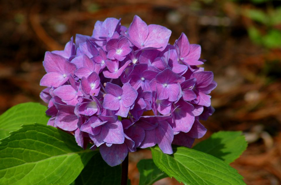 Learn To Change The Color Of Your Hydrangeas