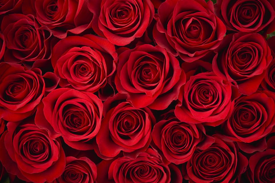 red valentines roses