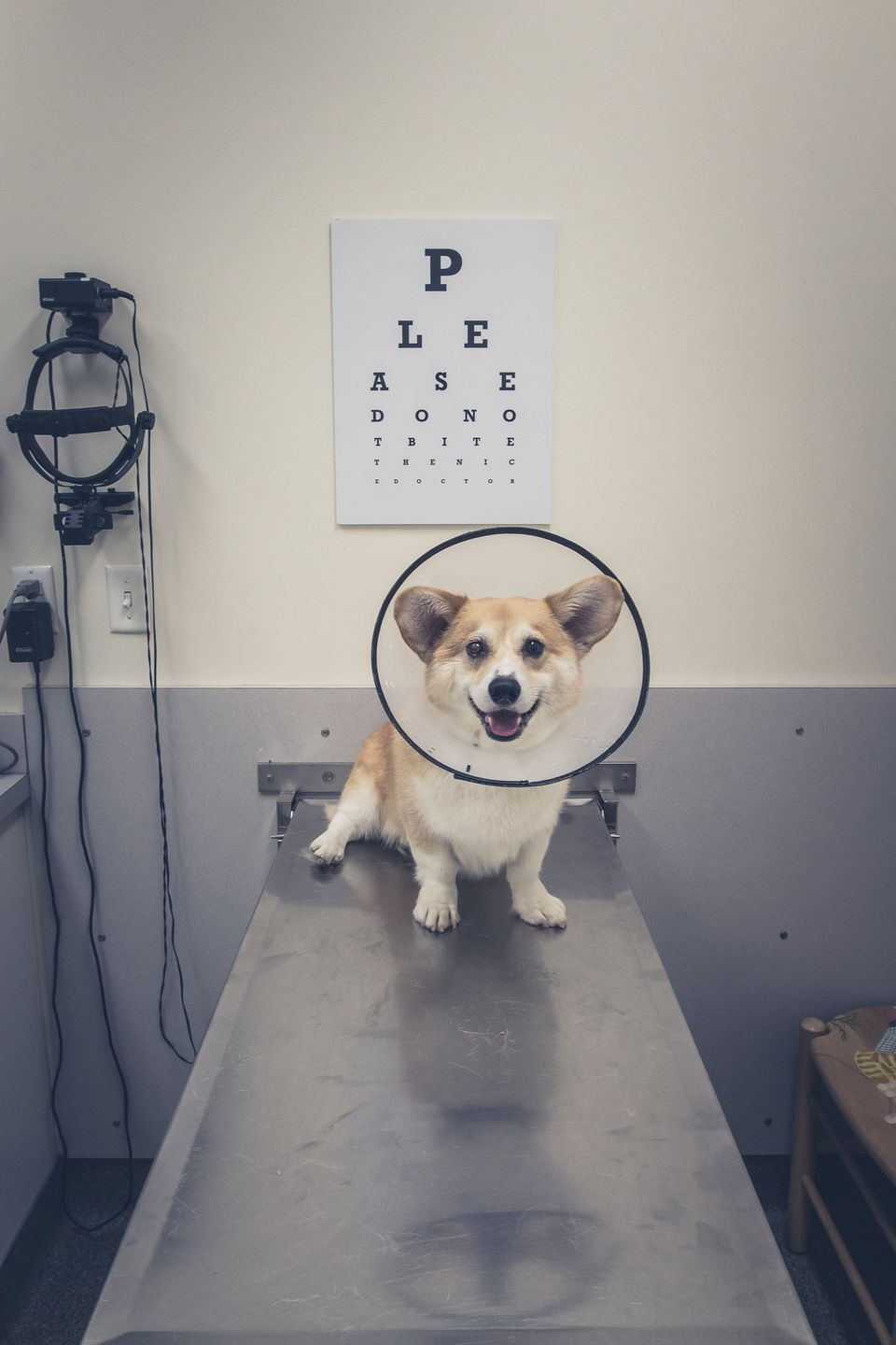 Happy Corgi dog sits in vet's office with a cone around its neck