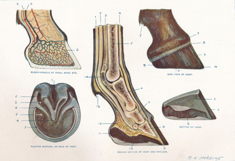 Structure of the foot of a horse, c1907 (c1910)