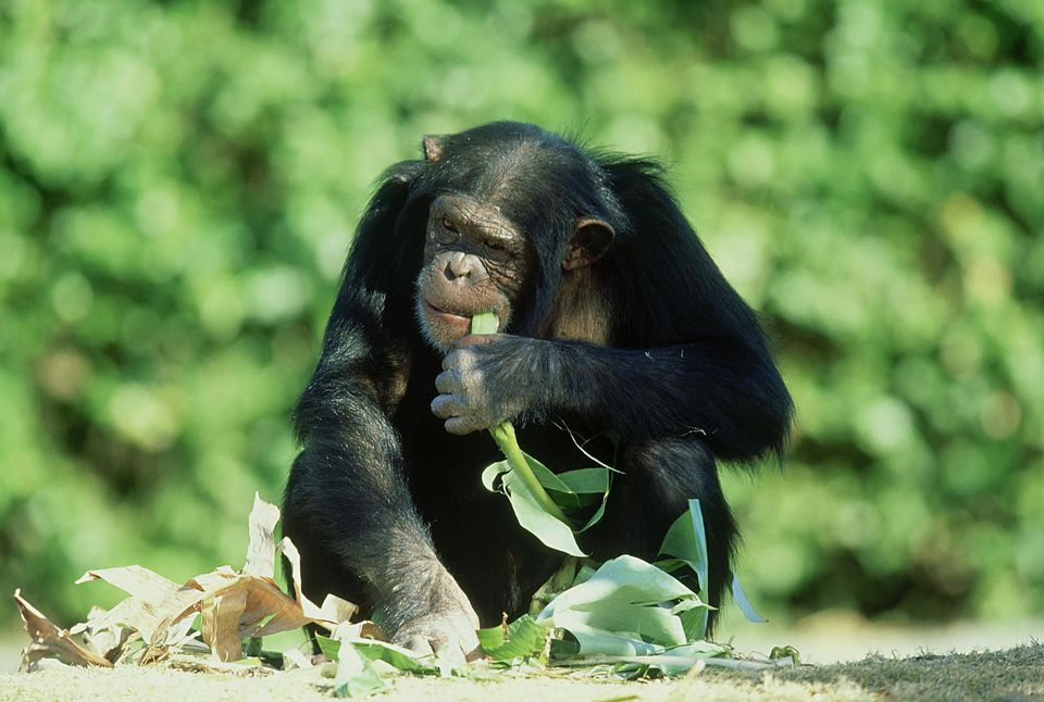 Chimpanzee, pan troglodytes, eating banana frond, miami metrozoo,florida
