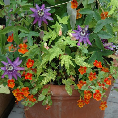 Fabulous flowering vine ideas for your containers for Gardening is my passion