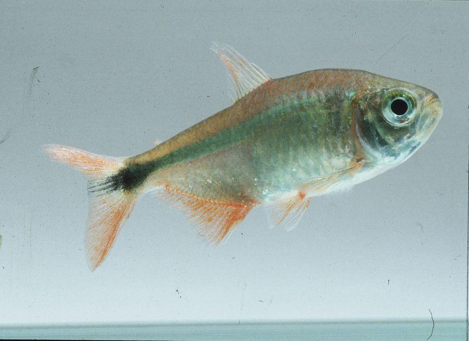 Buenos Aires Tera, Tropical Freshwater Fish