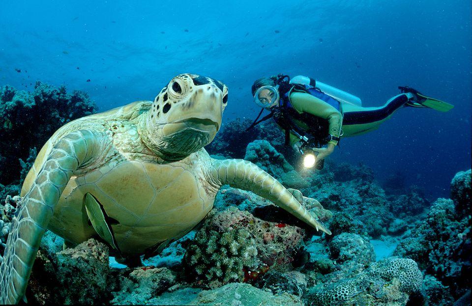 Green sea turtle and scuba diver, Chelonia mydas, Pacific ocean, Borneo, Sipadan, Malaysia