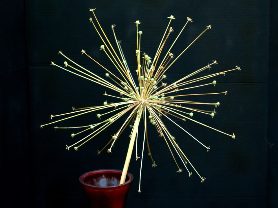 Picture: seed head of Allium schubertii looks like fireworks exploding. The seeds are toxic to cats.