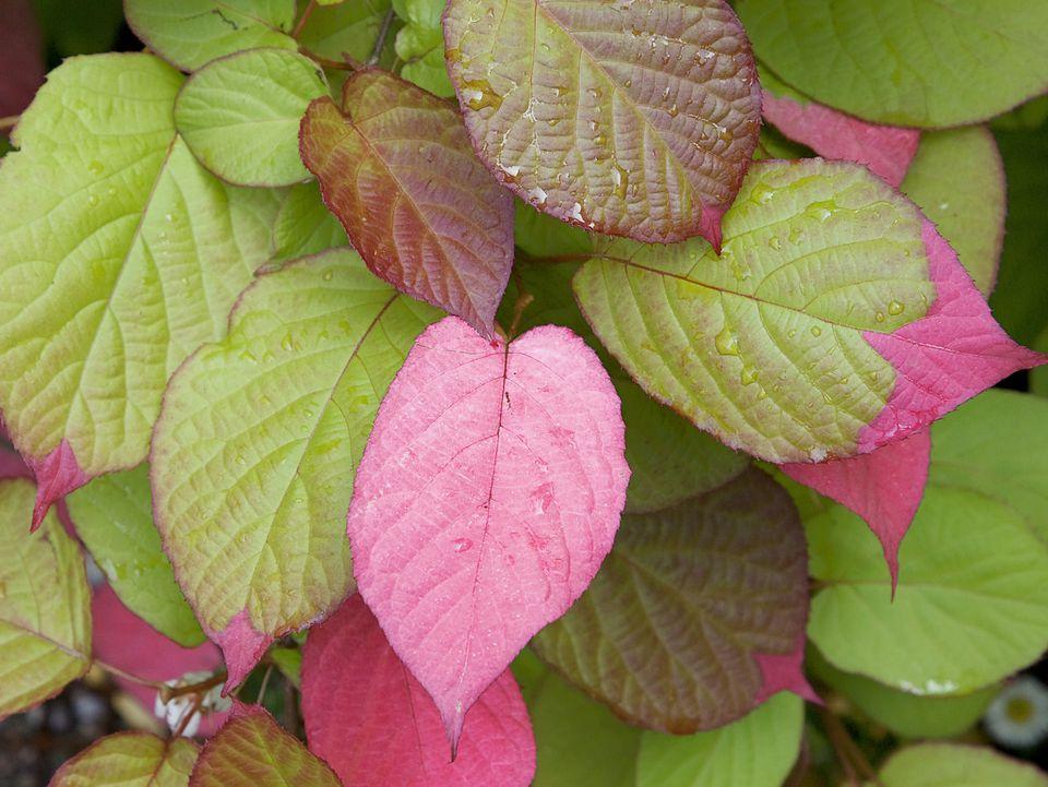 pink kiwi top 6 strongest perennial flowering vines