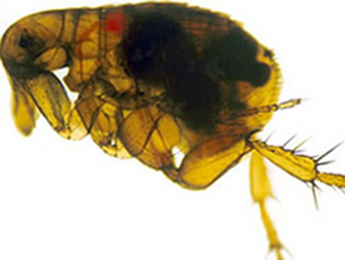 Plague-Infected Flea