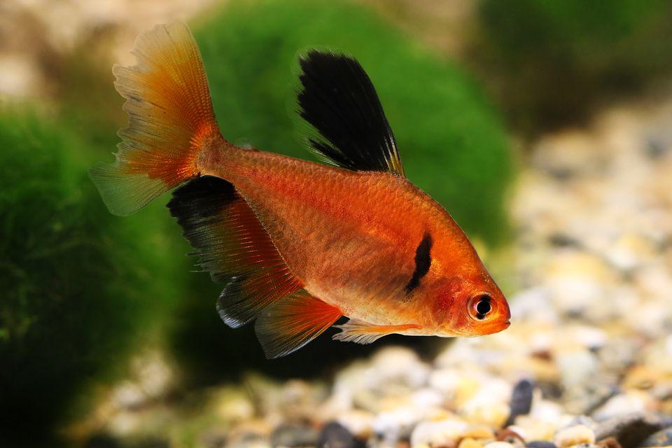 Long Finned Serpae Tetra Barb Hyphessobrycon eques aquarium fish