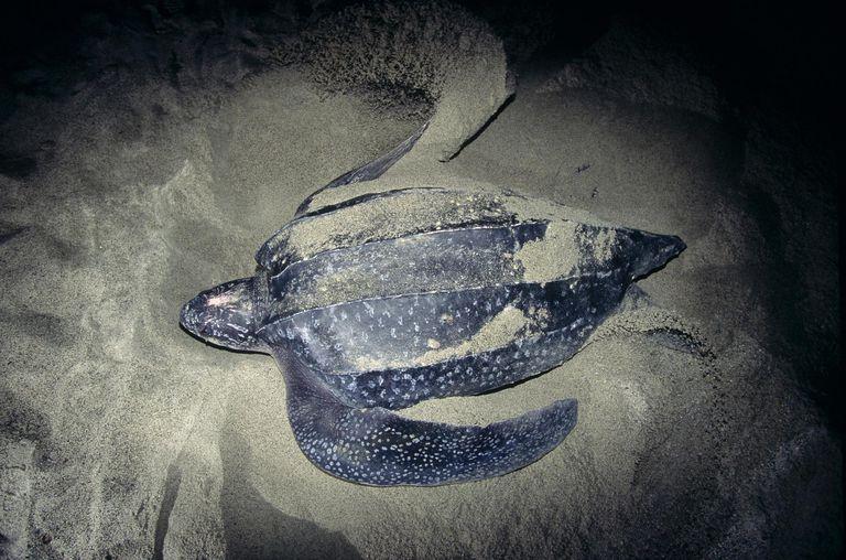 Leatherback turtle at egg deposition