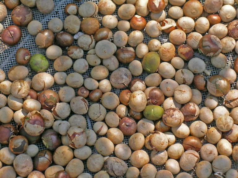 Brosimum alicastrum (ramon, breadnut) nuts being dried in the sun