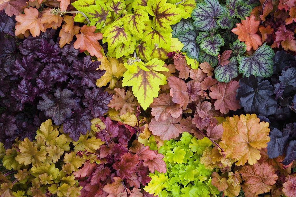 Variety of coral bells (Heuchera sanguinea), overhead view, close-up