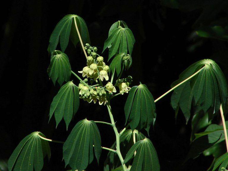 Manioc (Manihot esculenta)