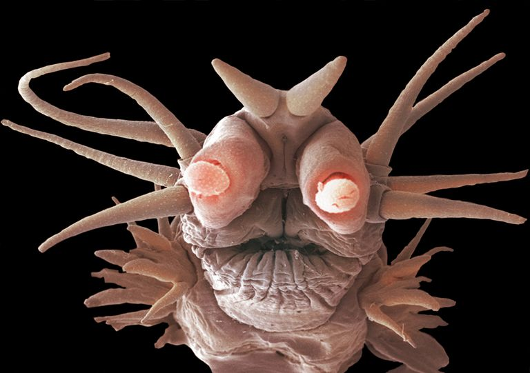 This deep ocean worm (Nereis sandersi) lives off the minerals from hydrothermal vents using the process of chemosynthesis.