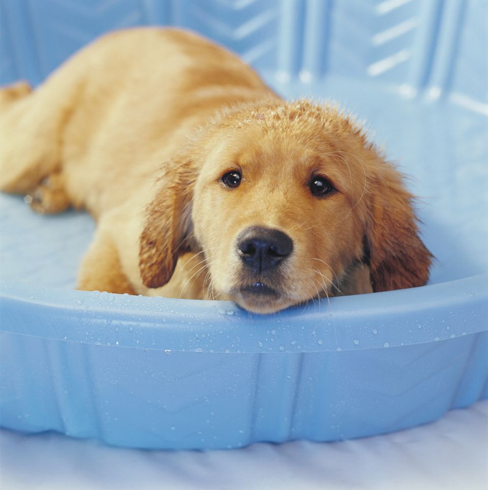 Fill a child's wading pool with water for puppy cooling soaks and splashing fun.
