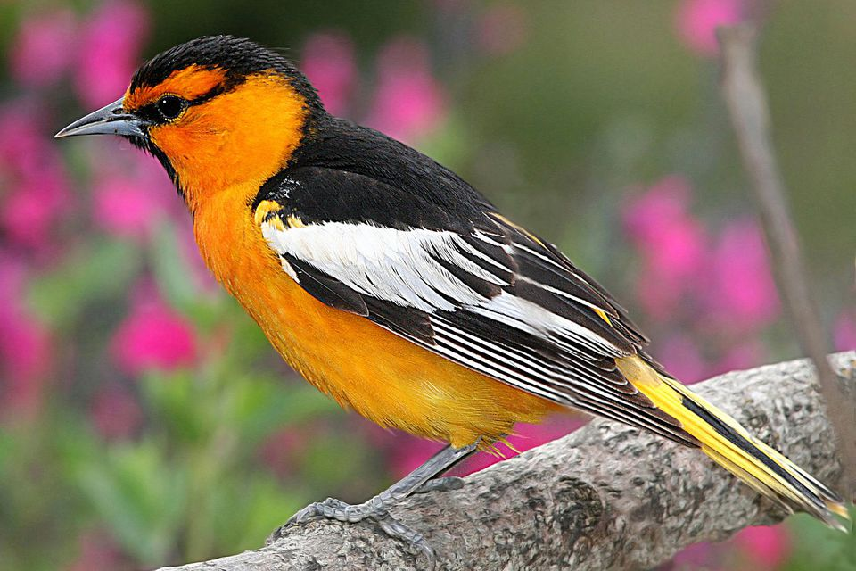 Identifying Orange Birds
