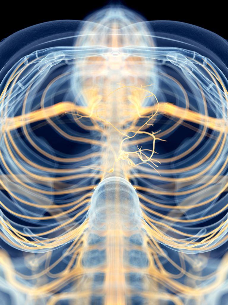 Human vagus nerve