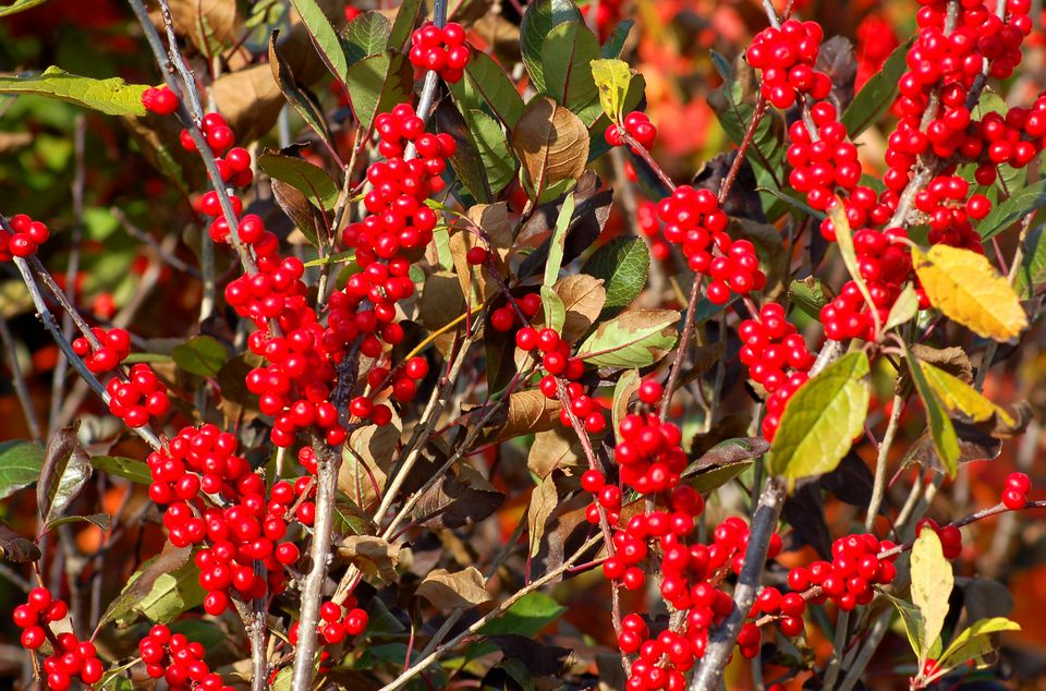 Winterberry (image) is at its best in December. Its berries shrivel in freezing conditions.