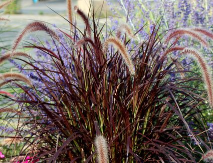Best varieties of ornamental grass low care picks feeling bubbly about purple fountain grass landscaping basics workwithnaturefo
