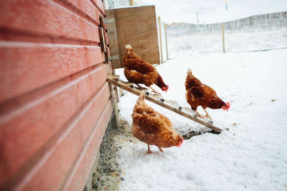 Chickens walking in snow