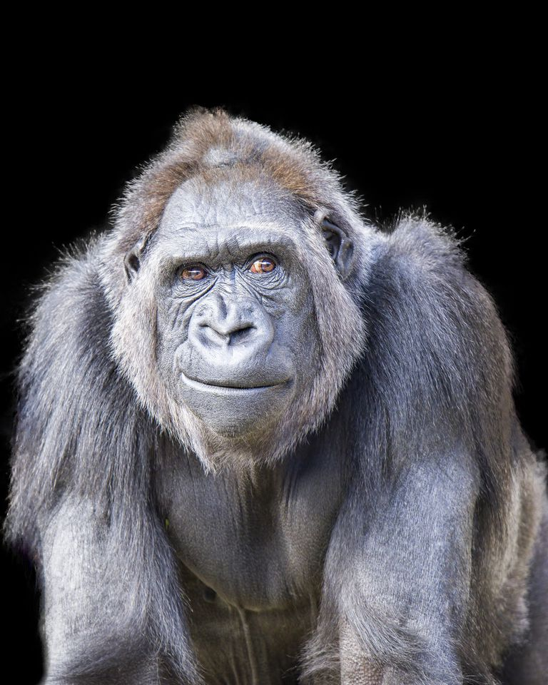 humans a threat to primates Threat to humans from virus infections of non-human primates david w g  brown enteric and respiratory virus laboratory central public health  laboratory,.