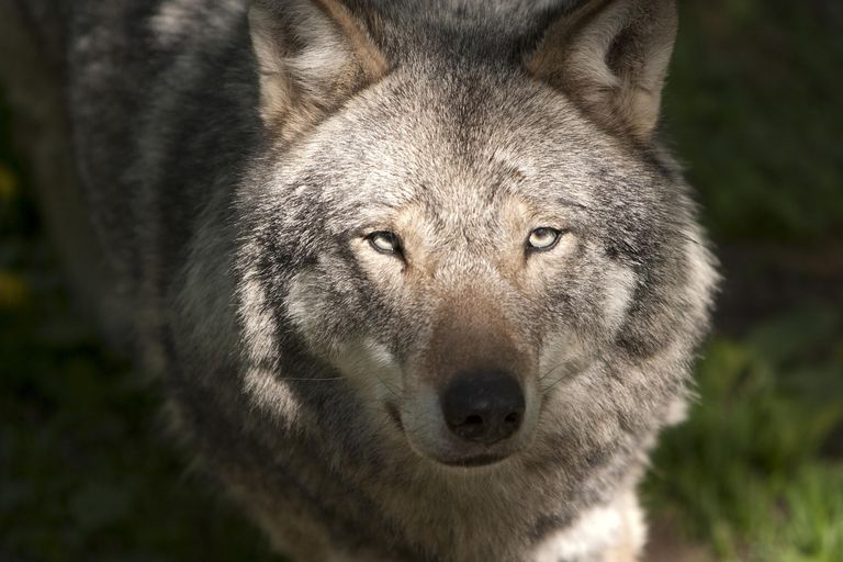 The Connell and O'Connell surnames most commonly derive from a word meaning wolf.