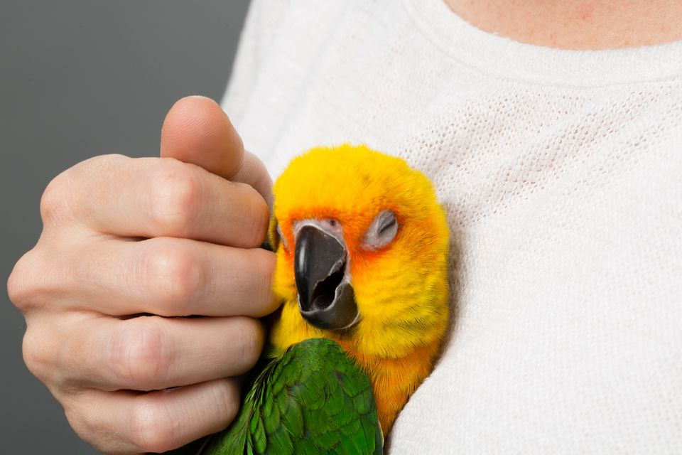 Sun conure being pet